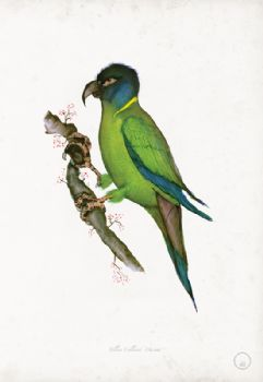 Yellow Collared Macaw - artist signed print